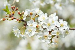 Close up of branch of cherry blossom Royalty Free Stock Image