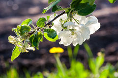Close-up branch of cherry blossoms in the spring garden Stock Photo