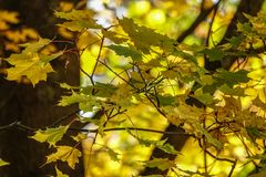Close up of branch with colorful autumn leafs stock images