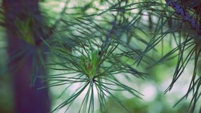 Close-up. A branch of conifer, pine