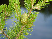 Close-up of a branch of a coniferous tree with a cone and insect Royalty Free Stock Images