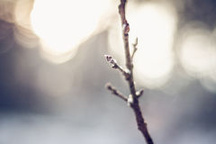 Close-up of branch covered by snowflakes. Close-up of branch having bud covered by snowflakes at sunset Royalty Free Stock Photos