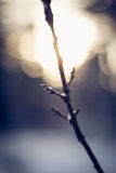 Close-up of branch covered by snowflakes. Close-up of branch having bud covered by snowflakes at sunset. Vertical shot. Taken in Latvia Royalty Free Stock Image