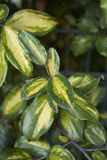 Close up branch of Elaeagnus pungens royalty free stock images