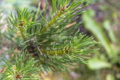 Close up of a branch fir tree leaves at the sunshine pinecone evergreen royalty free stock photos