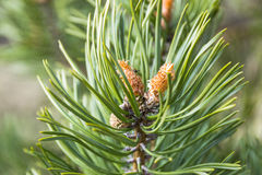 Close up of a branch fir tree leaves at the sunshine, pinecone evergreen stock images