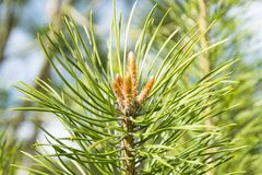 close up of a branch fir tree leaves at the sunshine, pinecone evergreen. stock photography