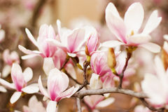 Close up of a branch with flowers. Of magnolia tree Royalty Free Stock Image