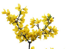 Forsythia flowers Royalty Free Stock Photography