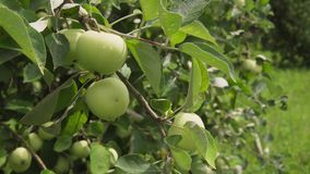 Close-up of branch with fresh green apples with drops in sunny fruit garden. Close-up of branch with fresh green apples with drops of dew in sunny fruit garden stock footage