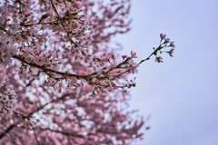 Close-up of branch full of cherry blossoms during spring. A close-up of branch full of cherry blossoms during spring royalty free stock photography