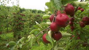 Close up of a branch full of ripe apples. In the background you can see many other trees in the orchard with ripe apples stock footage