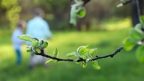 Close-up, branch with green leaves. on the background dad, a young dark-haired man plays with his son, a cute boy of. Three years, in the ball, teaches him how stock video footage