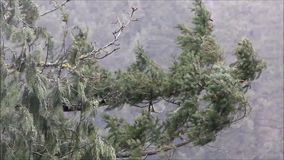 High winds and heavy rain on forest branches. Close up of branch in high wind and heavy rain in forest stock video