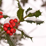 Close up of a branch of holly Stock Photo