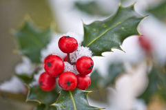 Close up of a branch of holly with red berries Royalty Free Stock Image