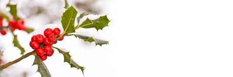 Close up of a branch of holly with red berries with snow, panoramic winter background. Close up of a branch of holly with red berries covered with snow royalty free stock photography