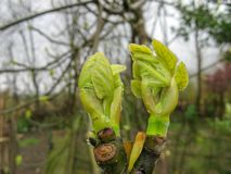 Close up of branch leaf buds on fig tree on a rainy day in spring royalty free stock images