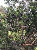 A branch of Luma apiculata (Chilean myrtle) full of black berries. Close up of a branch of Luma apiculata tree (Chilean myrtle) full of black royalty free stock photos