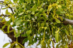 Mistletoe on an old tree in autumn stock images