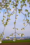 Close-up Branch Of Bloom In Spring Stock Photos