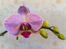 Close-up branch of an orchid with one large pink striped flower and green buds. Phalaenopsis, Moth Orchid on warm bright brown blu. Rry background. Nature stock image