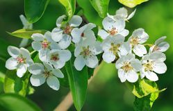 Branch of pear blossom Stock Photos