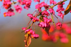 Close up of branch and pink blossoms of a spindle tree Euonymus europaeus against blurred blue sky. Germany stock images