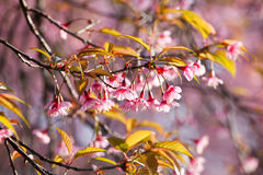 Close up branch with pink sakura blossoms in morning Stock Image