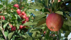 Branch of ripe apples in the garden. Close-up branch of ripe red apples in the garden stock footage