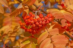 Branch of rowan tree with rowanberries at fall. Close up of branch of rowan tree with rowanberries at fall stock photos