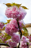 Close up branch of sakura blossom Royalty Free Stock Image