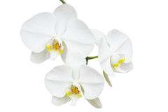 Close-up branch with three delicate orchids Stock Photography