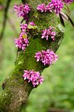 Close up of a branch with violet blossoming Cercis siliquastrum plant Foreset Pansy at El Capricho garden in Madrid Spain. During spring season Stock Photography