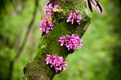 Close up of a branch with violet blossoming Cercis siliquastrum plant Foreset Pansy at El Capricho garden in Madrid Spain. During spring season Royalty Free Stock Photos