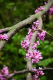 Close up of a branch with violet blossoming Cercis siliquastrum plant Foreset Pansy at El Capricho garden in Madrid Spain. During spring season Stock Images