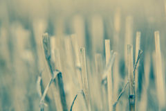 Close-up branch of wheat color processing Stock Photo