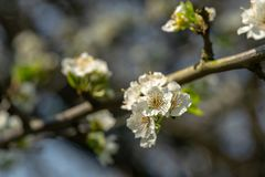 Close-up branch of white cherry plum flowers blossom in spring. Lot of white flowers in sunny spring day on gray blurred backgroun stock images