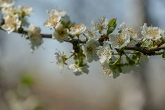 Close-up branch of white cherry plum flowers blossom in spring. Lot of white flowers in sunny spring day on gray blurred backgroun royalty free stock image