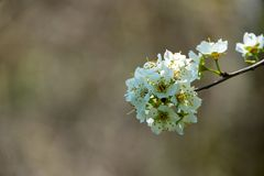 Close-up branch of white cherry plum flowers blossom in spring. Lot of white flowers in sunny spring day on gray blurred backgroun. D. Selective focus stock photo