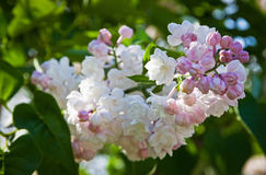 Close-up branch of white lilac Stock Images