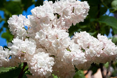Close-up branch of white lilac Stock Photography