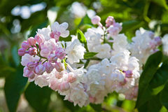 Close-up branch of white lilac Royalty Free Stock Photos