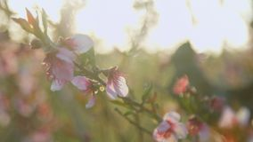 Close-up of the branches of the blossoming peach in the field stock footage