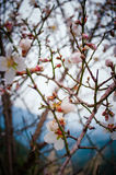 Close up of branches filled with almond blossoms Stock Photos