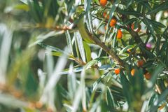 Close up of branches with orange ripe berries of seabuckthorn.  Stock Photo