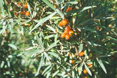 Close up of branches with orange ripe berries of seabuckthorn.  Royalty Free Stock Image