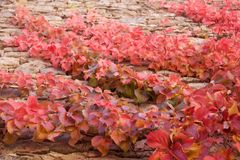 Close up of branches of parthenocissus quinquefolia climbing on. Stone wal Stock Images