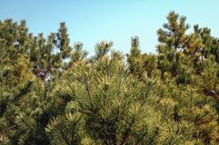 Pinus mugo tree. Close up on a branches of Pinus mugo tree commonly known as creeping pine or dwarf mountainpine or simply mugo pine Stock Images