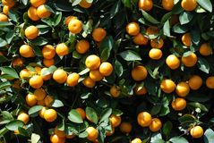 Close up of branches with ripe tangerines Stock Image